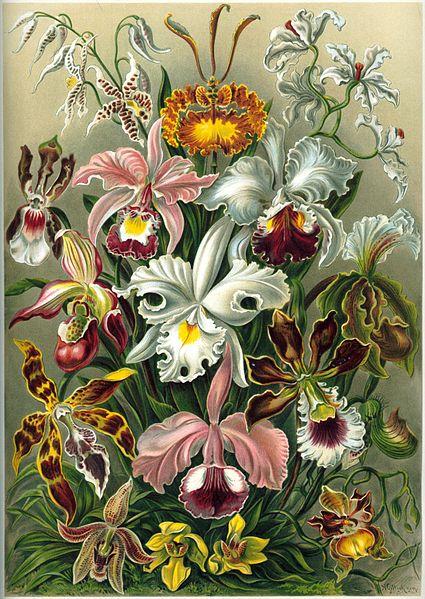 425px-Haeckel_Orchidae